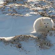 Arctic Fox (Alopex lagopus) Curled up in in a ball, keeping warm. Churchill, Manitoba. Canada.