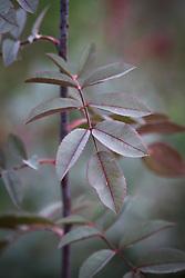 The foliage of Rosa rubrifolia syn. R.glauca