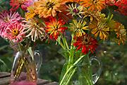 Zinnias - Cactus flowered mixed, in coloured glass jugs. Cutting Garden, Gowan Cottage, September