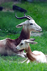 24 July 2005.   Dama Gazelle.<br />
