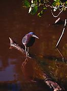 Green Heron, Butorides virescens, Mrazek Pond, Everglades National Park, Florida.