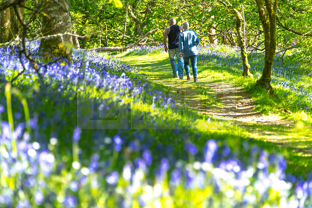 © Licensed to London News Pictures. 19/05/2020. Llandrindod Wells, Powys, Wales, UK. A man and woman walk through a bluebell wood on a beautiful warm sunny evening near Llandrindod Wells in Powys, Wales, UK. Photo credit: Graham M. Lawrence/LNP