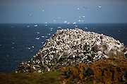 Gannet colony on Great Saltee, one of the Saltee Islands, off the coast of Co. Wexford, Ireland.