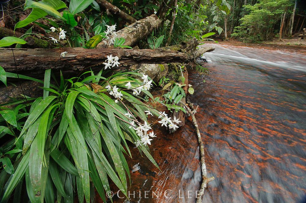 Orchid (Otostylis lepida) growing by streamside. Canaima National Park, Venezuela.