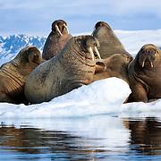Group of Atlantic walruses (Odobenus rosmarus rosmarus) resting on ice in Svalbard