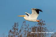 00671-01014 American White Pelican (Pelecanus erythrorhynchos) in flight Clinton Co.  IL