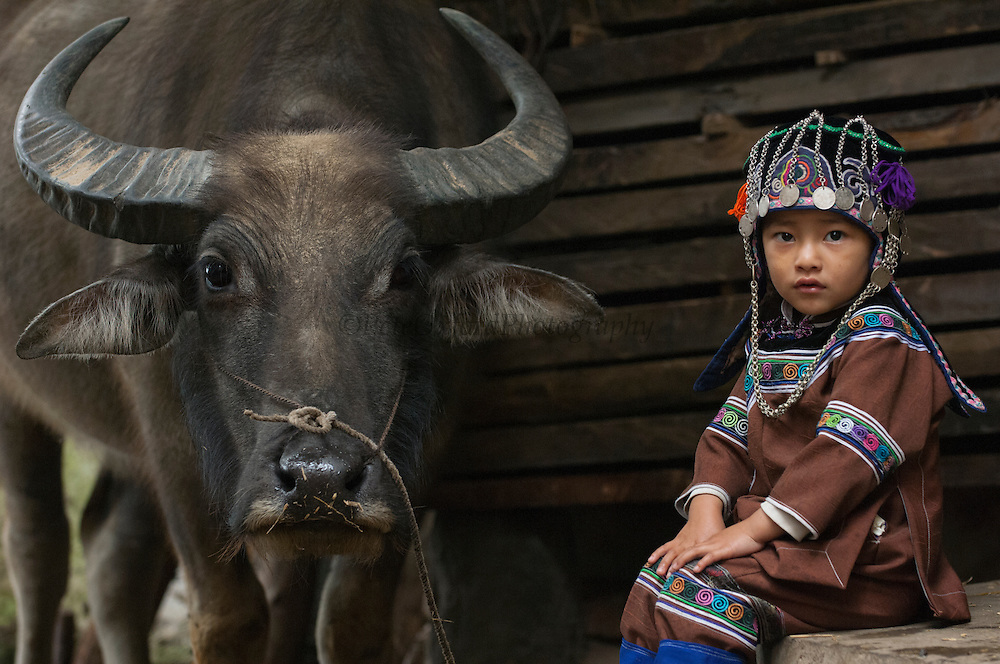 Hani child and domesticated water buffalo used for ploughing the rice paddies. Hani Ethnic minority people. Yuanyang, Honghe Prefecture, Yunnan Province. CHINA<br /> Hani are found in the following Prefectures: Simao, Lincang, Xishuangbanna, Yuxi, Honghe, Baoshan, Dehong, Chuxiong and Lijiang.<br /> This is the dominant ethnic group in the highlands of Ailaoshan and the people who built most of the terraces. They belong to the Tibeto-Burman language group. Their two-story houses are built with mud brick and an added thatched shed onto the flat roof forms a distinct shape - called Mushroom houses. Their villages are built above the terraces. Each village selects a man to be the Guardian of Channels, who is in charge of checking the  flow of the main irrigation channel, cleaning it of debris and overseeing the post-harvest repairs. He also determines the amount of water to be allocated for other areas and for all members of the community. To guarantee that every family in the village receives a fair share of available water thus demands a high degree of cooperation among its residents. This outlook has instilled a stong sense of solidarity among the Hani and sharing has influenced their notion of hospitality. Their ethnic pride is visible  in the preference the women have for donning their traditional costume. The woman wear indigo and black trousers and jackets with silver coin buttons. They wear head bands decorated with coins and yarn hanging down the back.  The children up until the age of 6 years wear very decorated outfits and their hats are strewn with coins and chains.