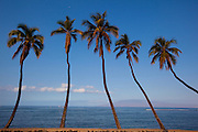Coconut palm trees, Lahaina, Maui, Hawaii