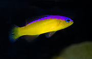 Diadem Dottyback, Pseudochromis diadema.