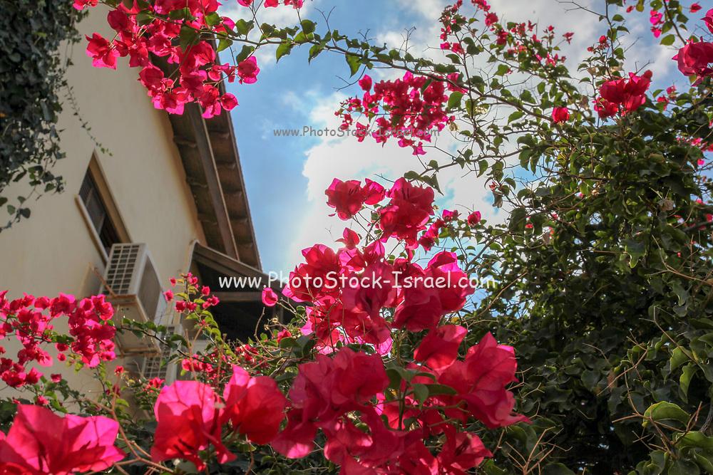 flowering bougainvillea plants Photographed in Neve Tzedek, Tel Aviv, Israel in October