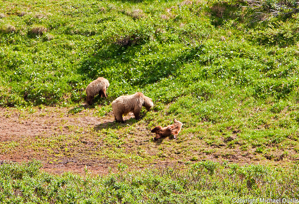 A brown bear family.  Mom, a yearling, and this year's cub.  From the Tek bus, Denali NP.  USA.