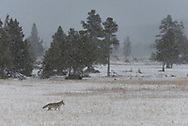 A coyote hunts in a meadow during an autumn snow.