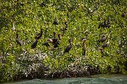 Double-crested cormorants (Phalacrocorax auritus) nesting in red mangrove on the ragged keys. Biscayne Bay Naitonal Park, Florida.