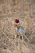 Rooster pheasant in breeding plumage