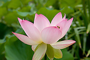 Honey bee sits on lotus petal