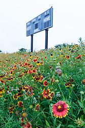 Widflowers on remnant patch of Blackland Prairie, Winfrey Point, White Rock Lake, Dallas Texas, USA
