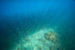 Large school of Bigeye Scad or Akule in Hawaiian, Selar crumenophthalmus, Keauhou Bay, off Kona Coast, Big Island, Hawaii, Pacific Ocean