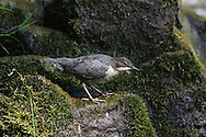 Dipper - Cinclus cinclus - juvenile. L 18cm. Dumpy waterside bird that perches on river boulders. Flies low over water. Dives readily in search of invertebrates. Sexes are similar. Adult has dark grey-brown wings, back and tail. Head is reddish brown and throat and breast (bib) are white. Belly grades from reddish chestnut at front to blackish brown at rear. Legs and feet are stout and powerful. Juvenile has greyish upperparts and barred, pale underparts. Voice Utters a shrill striitz call. Status Fairly common but local on fast-flowing streams and rivers.