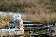 A Snowy Owl (Bubo scandiacus) on alert after being dive bombed by a Northern Harrier at Boundary Bay in Delta, British Columbia, Canada