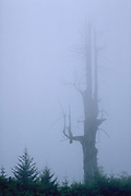 Dead Tree, Del Norte County, California (NC)