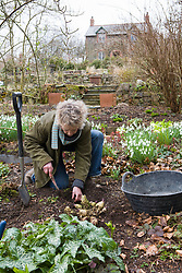 Taking Crambe cordifolia root cuttings. Carol Klein unearthing roots suitable for taking cuttings