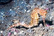 Thorny Seahorse.(Hippocampus hystrix).Lembeh Straits, Indonesia