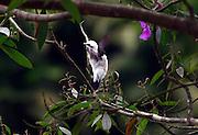 Brumadinho_MG, Brasil...Detalhe de um passaro no galho de uma arvore...Detail of a bird on the branch tree...Foto: BRUNO MAGALHAES / NITRO.