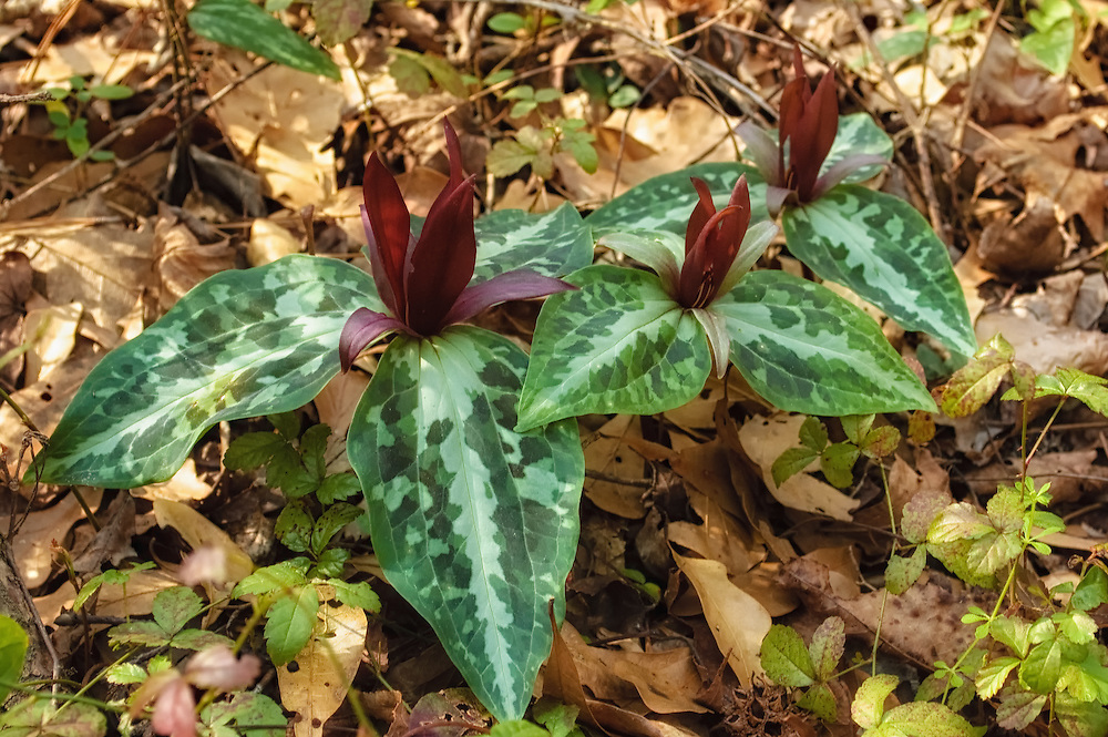 The very rare and endangered confererate trillium is one of the most beautiful and striking members of the trillium genus to be found in the American Southwest. These were photographed in as part of a very healthy and robust colony, that were recently discovered growing among the more common species of spotted wakerobins in Tallahassee, Florida.