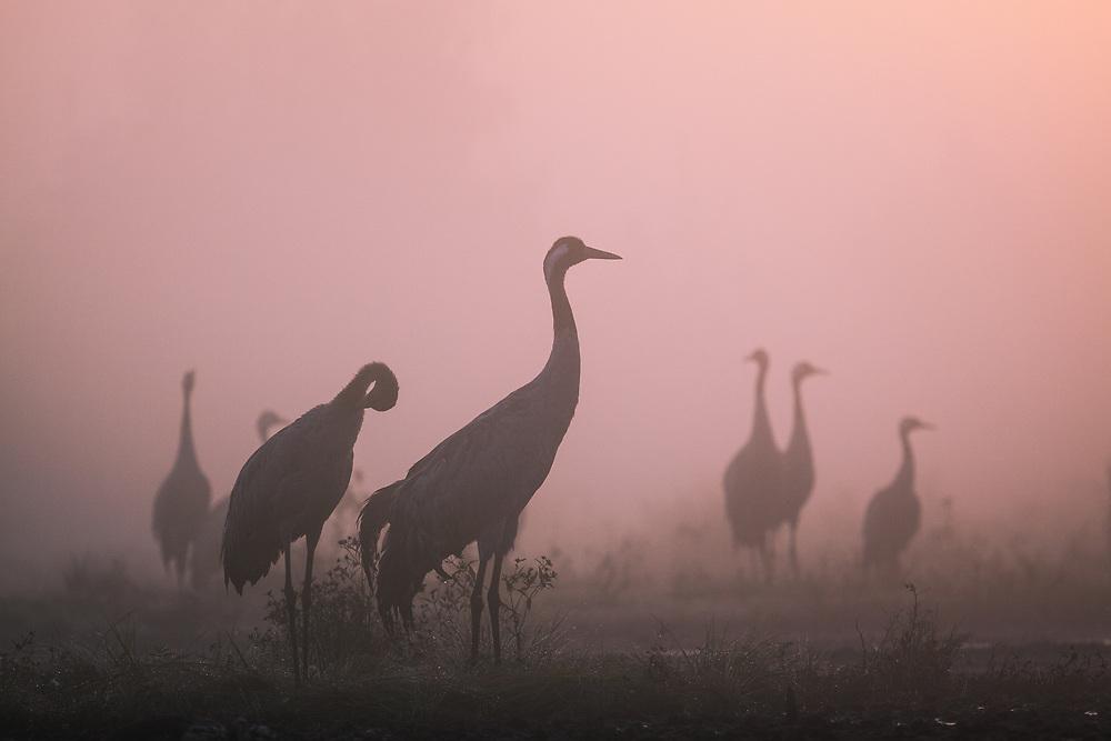 Silhouettes of roosting common cranes (Grus grus) in foggy morning at dawn, Kemeri National Park (Ķemeru Nacionālais parks), Latvia Ⓒ Davis Ulands | davisulands.com