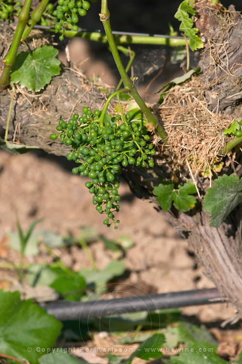 Irrigated vines. Unripe grapes. Domaine Gerovassiliou, Epanomi, Macedonia, Greece.