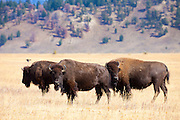 Three American bison (Bison bison) graze in a grassy field in Grand Teton National Park, Wyoming. The bison are also commonly known as American buffalo. Bison can grow up to 6.6 feet (2 meters) tall, 10 feet (3 meters) long, and weigh between 900 and 2,200 pounds (400 to 1,000 kg).