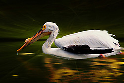 An American White Pelican Swims In The Lights Of Night<br /> <br /> One of North America's largest birds, the American White Pelican is distinctive for its nine-foot wingspan, conspicuous white body, and the improbable proportions of its large bill and pouch. Despite their size, the pelicans are graceful fliers, with flocks soaring high in the air and wheeling in unison. In flight, black wing tips and trailing edges are good field marks. American White Pelicans may be seen cooperatively foraging in shallow waters, or at adjacent loafing sites, where they are tolerant of human observation at a respectful distance.