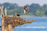 00783-02008 Osprey (Pandion haliaetus) landing at nest with fish Rend Lake Jefferson Co. IL