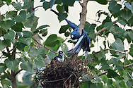 Black Baza, Aviceda leuphotes, bird feeding its chick in a nest, Guangshui, Hubei province, China