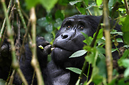 Face of an eating male silver back mountain gorilla (Gorilla beringei beringei), Bwindi Impenetrable National Park, Uganda