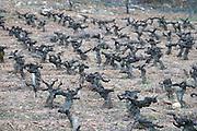 vineyard old vine gobelet trained sandy gravelly soil Bodega Agribergidum, DO Bierzo, Pieros-Cacabelos spain castile and leon