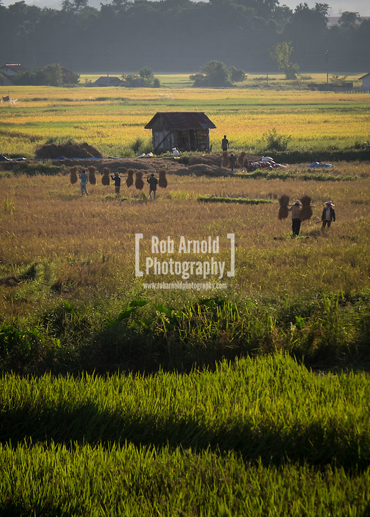 People harvesting rice in a rice paddy outside of Luang Nam Tha, north west Laos.