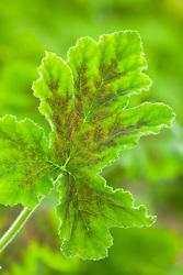 Pelargonium 'Chocolate Peppermint'. Scented pelargonium