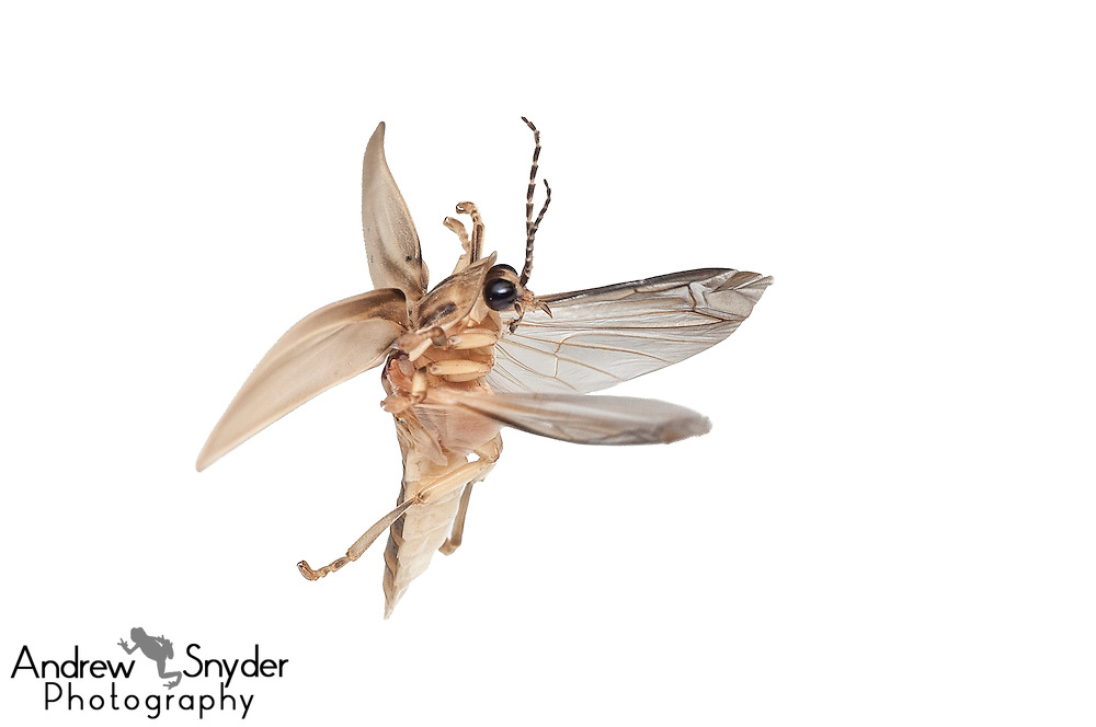 Lightning bug (Lampyridae) - Iwokrama, Guyana.