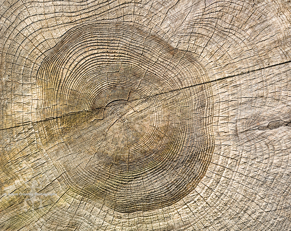 Close-up of Rings of a Tree