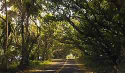 July 9, 2018 - Pahoa, Hawaii, U.S - One of a few canopy-covered roads still exist along Kalapana-Kapoho Road as the Kilauea Volcano east rift zone eruption continues Sunday, June 10, 2018, in Pahoa, Hawaii. Photo by LE Baskow/LeftEyeImages (Credit Image: © L.E. Baskow via ZUMA Wire)