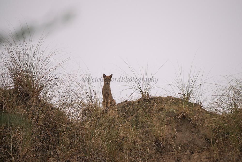 Indian jackal (Canis aureus indicus)<br /> National Chambal Sanctuary or National Chambal Gharial Wildlife Sanctuary<br /> Madhya Pradesh, India<br /> Subspecies of golden jackal native to Pakistan, India, Bhutan, Burma and Nepal