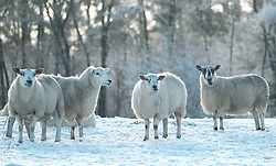 Sheep forage for food in the snow.<br />