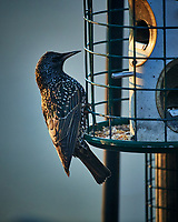 European Starling. Image taken with a Nikon D5 camera and 600 mm f/4 VR lens (ISO 1600, 600 mm, f/4, 1/800 sec).