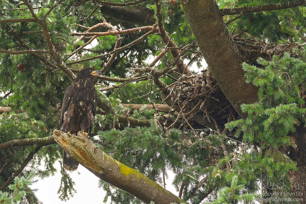A juvenile bald eagle (Haliaeetus leucocephalus) that recently fledged looks back at its nest in Heritage Park, Kirkland, Washington. The young eagle, approximately 12 weeks old, made its first flight a few days before this image was captured. Down and developmental feathers are visible on the nest and branches of the tree.