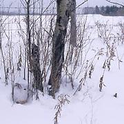 Snowshoe Hare, (Lepus americanus) In winter white color phase. Canada.
