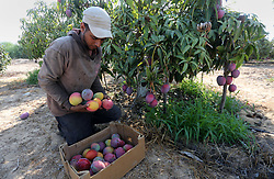 August 21, 2017 - Gaza City, Gaza Strip, Palestinian Territory - A Palestinian man picks Mango at his field during the harvest season in the center of Gaza strip.  (Credit Image: © Mohammed Asad/APA Images via ZUMA Wire)