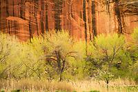 Cottonwood Trees & Sandstone, Capitol Reef National Park, Utah