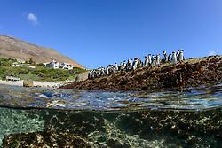 Spheniscus demersus, Brillenpinguine, Halb halb Aufnahme, African penguins or Jackass penguin or black-footed penguins, splitlevel picture, Suedafrica, Simons Town, False Bay, Boulders Beach, South Africa