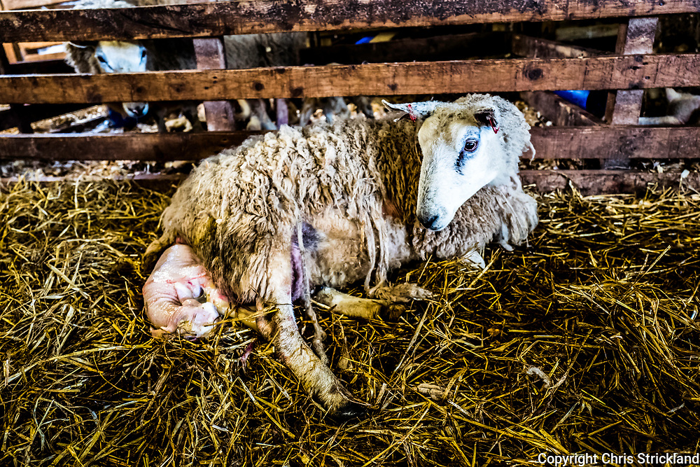 Oxnam, Jedburgh, Scottish Borders, UK. 23rd March 2018. North Country Cheviot Mule ewes and lambs in a lambing shed.